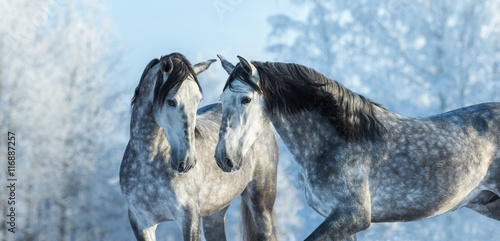 Portrait of two spanish grey stallions in winter forest