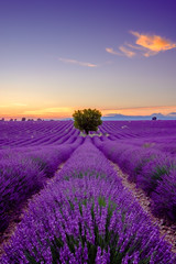 Tree in lavender field at sunset in Provence, France © Anton Gvozdikov