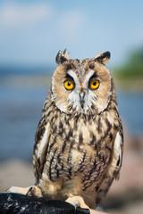 Beautiful domestication owl, wild owl, night owl