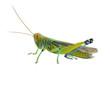 Grasshopper of white background