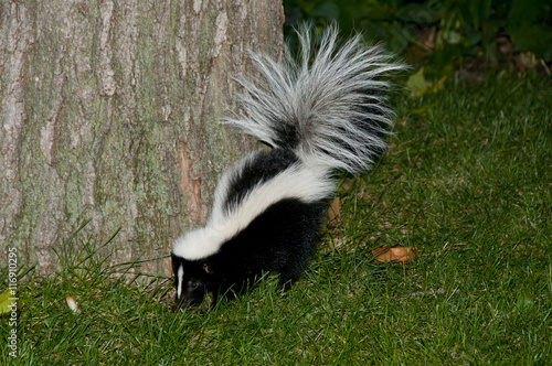 Skunk In Backyard skunk in backyard | buy photos | ap images | detailview