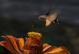 hawk moth flying over zinnia flower