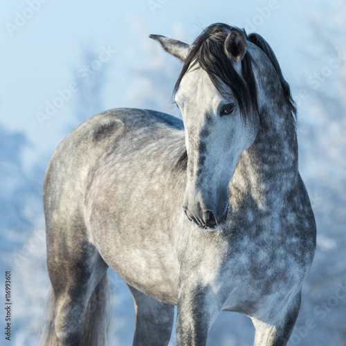 Portrait of thoroughbred gray stallion in winter forest on a blu Plakat