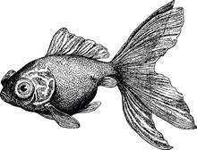 Vintage obraz goldfish