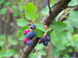 Ripe amelanchier berries on bush, closeup