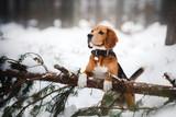 Fototapety Dog breed Beagle walking in winter, portrait
