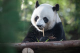 Fototapety portrait of nice panda bear eating in summer environment