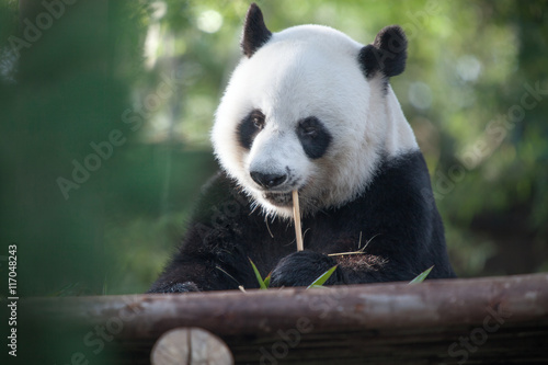 Poster portrait of nice panda bear eating in summer environment