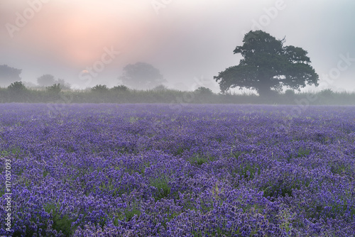 Fotobehang Purper Beautiful dramatic misty sunrise landscape over lavender field i