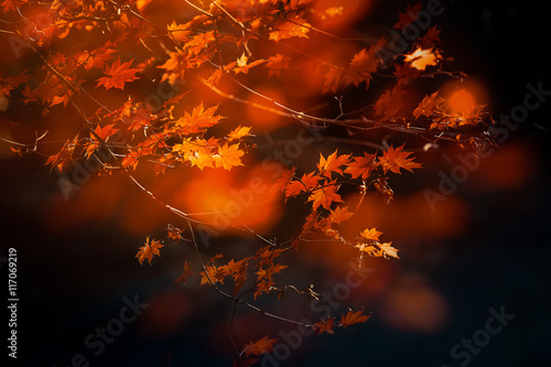 Autumn maple tree