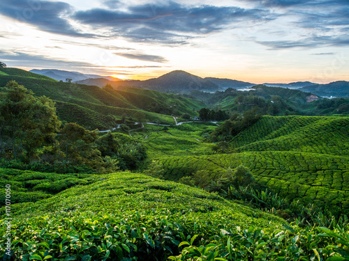 Foto op Canvas Koffie Tea Plantation during Sunrise at Cameron Highlands, Malaysia