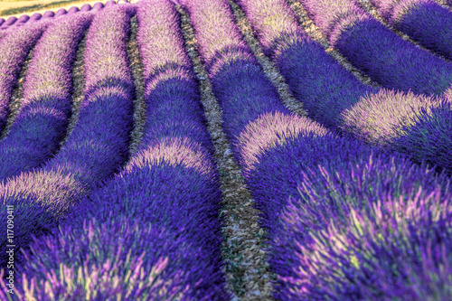 Poster Violet Beautiful Lavender field at sunset in Provence, France