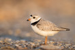 An endangered adult Piping Plover stands on a pebbly beach just as the first sunlight shines on it.