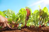 Planting sugar beets
