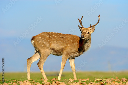 Poster Whitetail Deer standing in autumn day