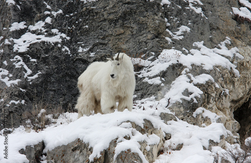 Poster Mountain Goat