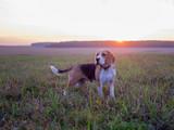 Собака породы бигль на фоне закатного солнца