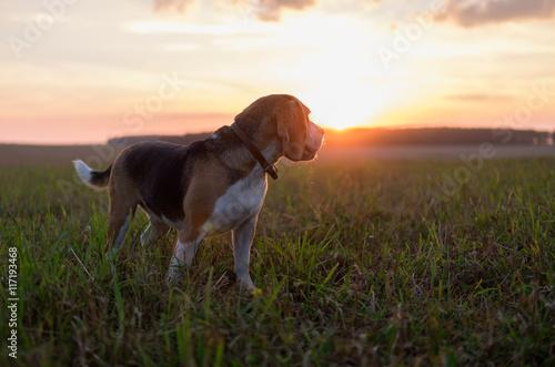 Poster Собака породы бигль на фоне закатного солнца