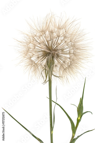 Tragopogon pratensiss close-up, isolated on white background © fantasy