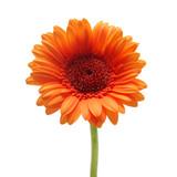 Fototapety Orange gerbera daisy flower isolated on a white background