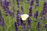 white butterfly sitting on a purple lavender flowers