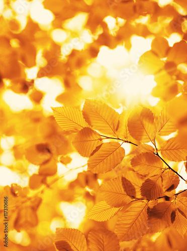 Fototapeta autumn leaves