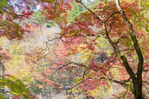 Red maple tree in forest in fall, Beautiful autumn background.
