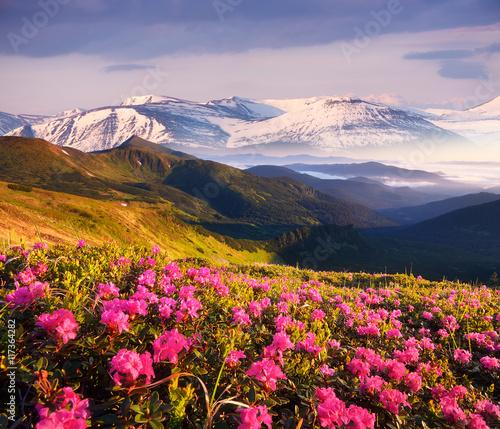 Zdjęcia na płótnie, fototapety, obrazy : Summer landscape with flowering mountain slopes