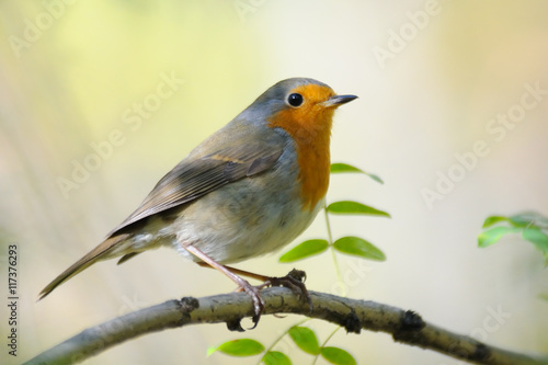 Poster Perching Robin in spring