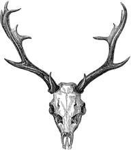 Archiwalne zdjęcie jelenie czaszki, poroża