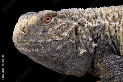 Iraqi spiny-tailed lizard (Saara loricata), Iraq Poster