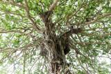 Banyan(Strangler Fig)
