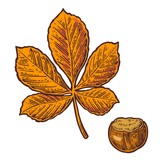 Chestnut leaf and nut. Vector color vintage engraved illustration.