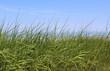 Seagrass - Sea Grass on Cape Cod Beach with Ocean, Horizon, Sky background