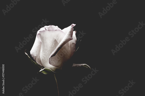 Single White Rose © hookmedia
