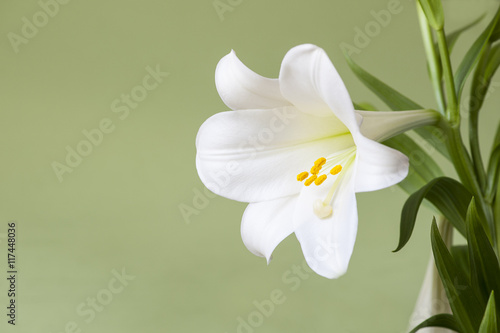Lilia wielkanocna makro