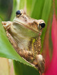 Closeup of a Cuban Tree Frog on a Bromeliad