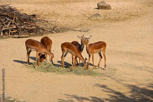 Fotobehang Overige Fressende Antilopen