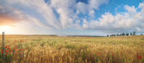 Meadow of wheat penorama