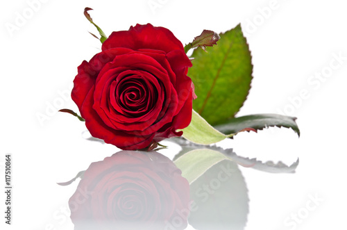Staande foto Roses beautiful bud of red rose lying down on a white background