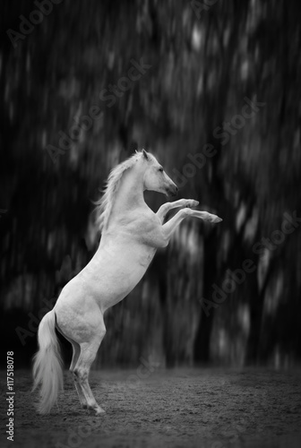 white horse reared on the dark  trees background