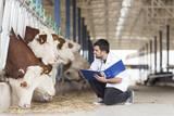 Cow Veterinary