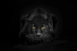 Black leopard looking camera with yellow eyes on black backgroun