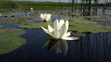 Flowers White Water Lilies on the Lake Surface.