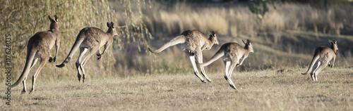 Aluminium Kangoeroe kangaroos hopping in outback, Queensland,Australia
