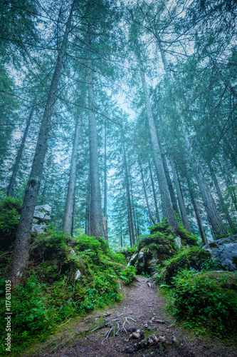 Dark misty forest landscape - big trees, path, roots and stones