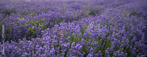 Panel Szklany Stunning landscape of lavender field withselective focus for emp