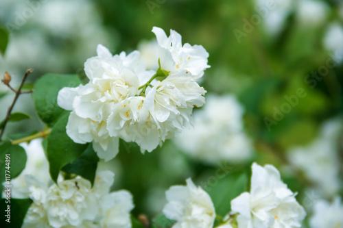 jasmine flowers  in spring