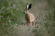 European brown hare, Lepus europaeus