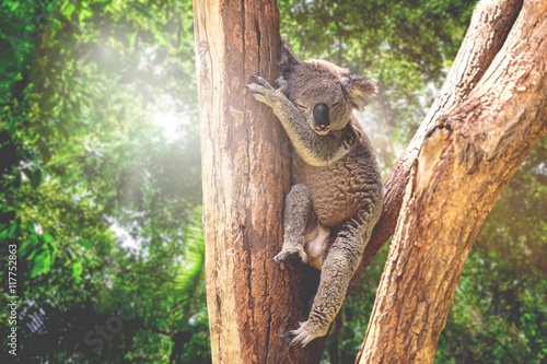 Poster Koala in the nature